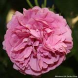 Louise Odier - Bourbon shrub rose