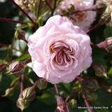 Madame Piere Oger - Bourbon shrub rose