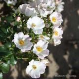 Nevada - Shrub rose
