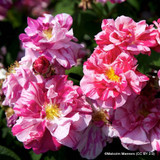 Rosa mundi shrub rose