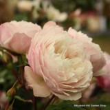 The Generous Gardener - David Austin Climbing rose