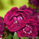 Tuscany Superb - Gallica shrub rose