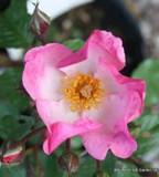Max Graf - Ground-cover rose