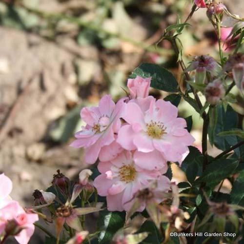 Nozomi - Ground-cover rose