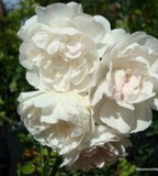 Swany - Ground-cover rose