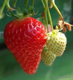 Strawberry ' Cambridge Favourite'