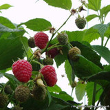 Raspberry 'Cascade Delight'