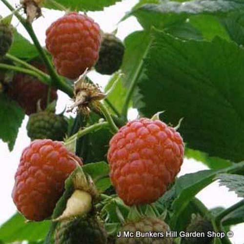 Raspberry 'Valentina'