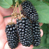 Blackberry 'Karaka'