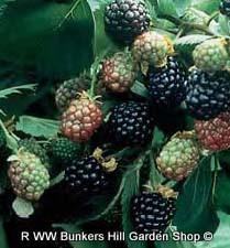 Blackberry 'Triple Crown'