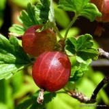 Gooseberry 'Captivator'