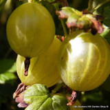 Gooseberry 'Hinnonmaki Yellow'