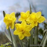 Large Cup Narcissi 'Saint Keverne'
