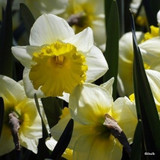 Large Cup Narcissi 'Ice Follies'