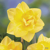 Double Daffodil 'Golden Ducat'