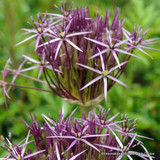 'Christophii' 7 Alliums