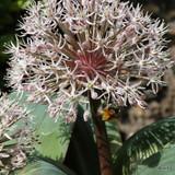 aflatunense Alliums