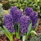 'Blue Pearl' Hyacinths