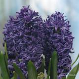 'Kronos' Hyacinths