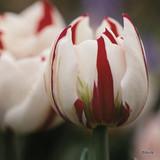 'Carnaval De Nice' Tulips