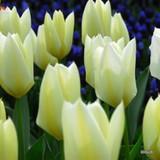 Tulip White Emperor