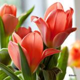 Tulip Oriental Beauty