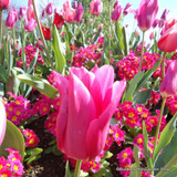 Tulip China Pink