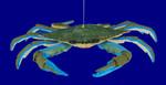 """Blue Crab Ornament, 6 1/2"""", break resistant #SL5737"""