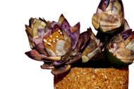Lotus Flowers w/Pot - Decorated with Seashells and Sea Sand