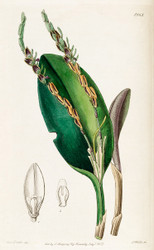 Acianthera saurocephala