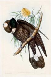 Calyptorynchus Baudinii