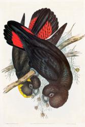 Calyptorynchus Leachii