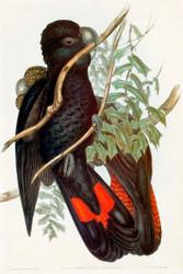 Calyptorynchus Naso