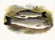 Black Finned Trout