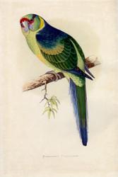 WT Greene Parrots in Captivity Barnards Parrakeet Wildlife Print