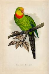 WT Greene Parrots in Captivity Barrabands Parrakeet Wildlife Print