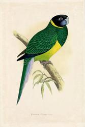 WT Greene Parrots in Captivity Bauers Parrakeet Wildlife Print