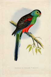 WT Greene Parrots in Captivity Beautiful or Paradise Parrakeet Wildlife Print