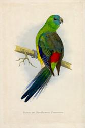 WT Greene Parrots in Captivity Bloodrumped or Redrumped Parrakeet Wildlife Print