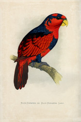 WT Greene Parrots in Captivity Bluecrowned or Bluebreasted Lory Wildlife Print