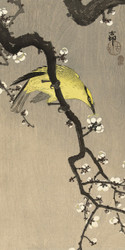 Chinese Wielewaal on Plum Flower Branch by Ohara Koson Japanese Woodblock