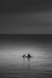 Lone Seal by Andrew Wilson Seascape Print
