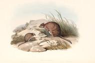 Bettongia Fasciata By John Gould Wildlife Print