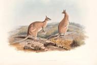 Halmaturus Agilis By John Gould Wildlife Print