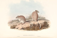 Bettongia  Rufescens Gray  By John Gould Wildlife Print
