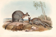 Halmaturus Bennettii By John Gould Wildlife Print