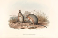 Halmaturus Derbianus Gray By John Gould Wildlife Print