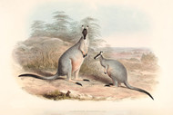 Halmaturus Manicatus By John Gould Wildlife Print