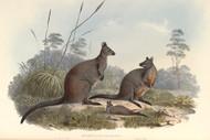 Halmaturus Ualabatus By John Gould Wildlife Print
