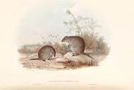 Hypsiprymnus Gilbertii By John Gould Wildlife Print